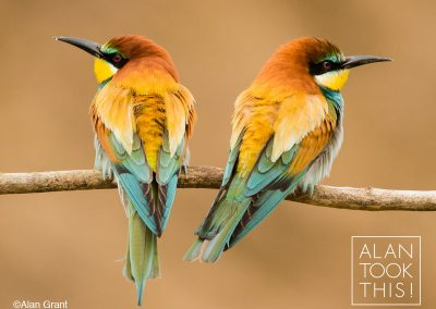 fb_bee-eaters2