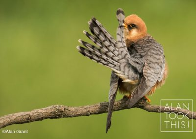 fb_red-footed_falcon1