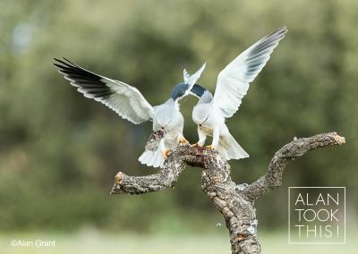 black-shouldered-kite-pair1