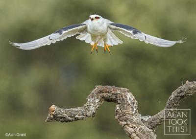 black-shouldered-kite-flight
