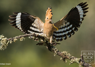 hoopoe_with_centipede