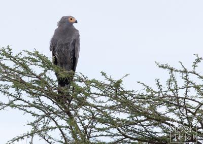 african-hawk