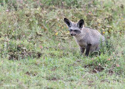 bat-eared-fox1