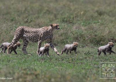 Cheetah mum and cubs