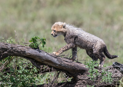 cheetah8