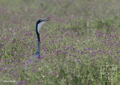 heron3_black-headed