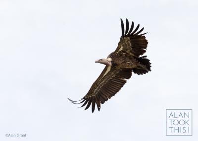 vulture1_ruppells