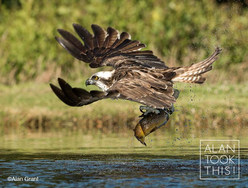 Ospreys, Aviemore 2014