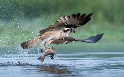 It's Osprey time again!