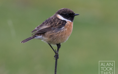 Back with the Stonechats in Marazion