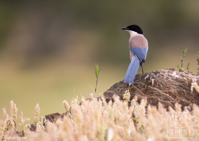 Azure-winged_magpie