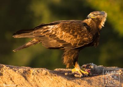 golden_eagle2