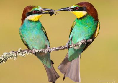 Bee-eater_valentine