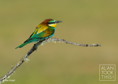 bee-eater_new1