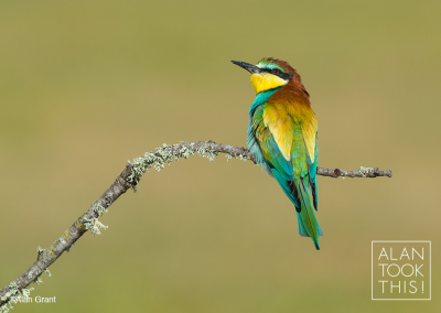 bee-eater_new2