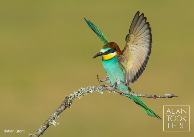 bee-eater_new3