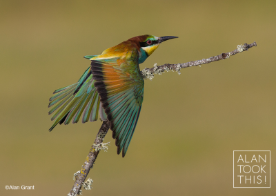 bee-eater_stretch
