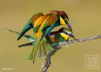 mating_bee-eaters