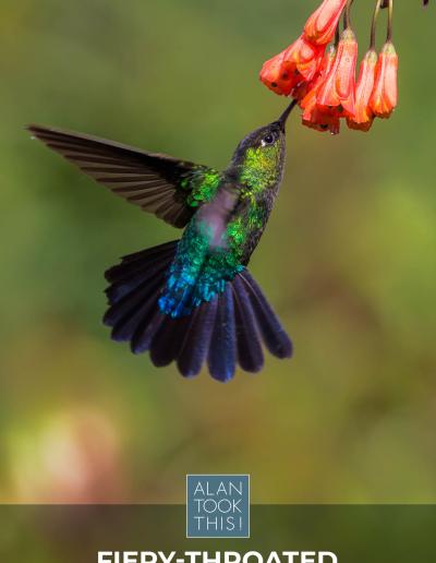 14_Fiery-throated_Hummingbird