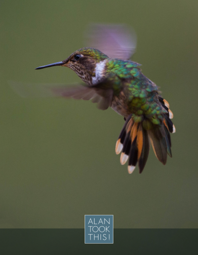 20_Volcano_Hummingbird