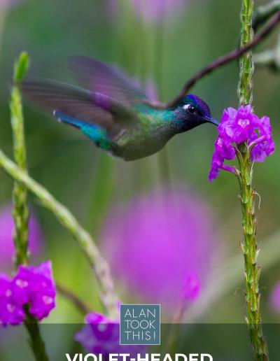 22_Violet-headed_Hummingbird