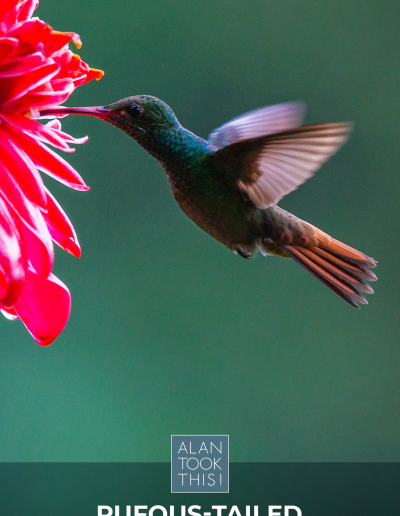 3_Rufous-tailed