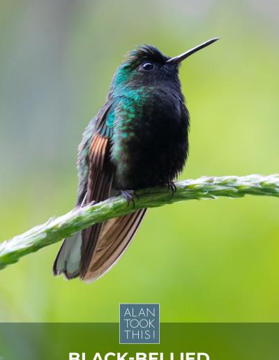 6_Black-bellied_Hummingbird