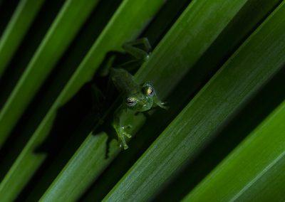 Emerald_Glass_Frog1