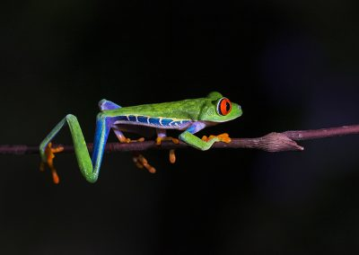 Red-eyed_Tree_Frog1