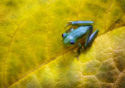 Spiny Glass Frog1