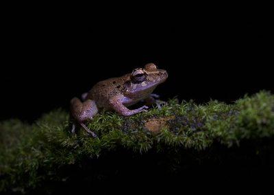 Tawny Tree Frog1