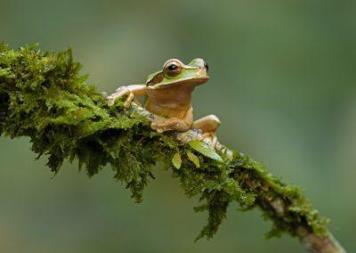 masked-tree-frog1