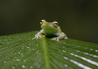 red-webbed-tree-frog1
