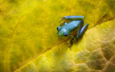 The enigmatic frogs of Costa Rica